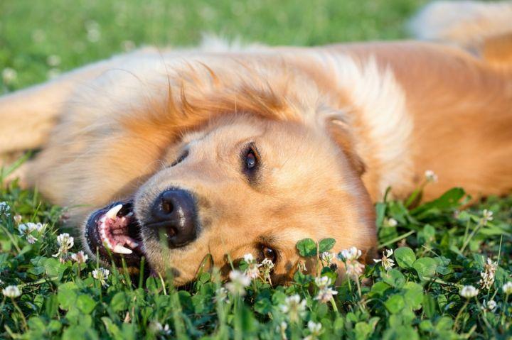 Famille d'accueil pour chiens rime toujours avec multiplication des activités?