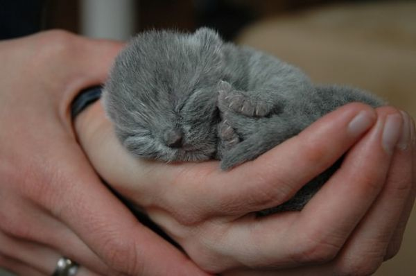 Chaton British Shorthair Bleu